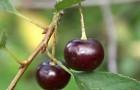 Сорт вишни обыкновенной: Касмалинка