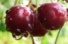 Сорт вишни обыкновенной: Кентская