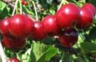 Сорт вишни обыкновенной: Комсомольская