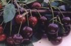 Сорт вишни обыкновенной: Краснодарская сладкая