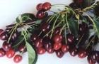 Сорт вишни обыкновенной: Лебедянская