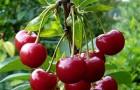 Сорт вишни обыкновенной: Маяк
