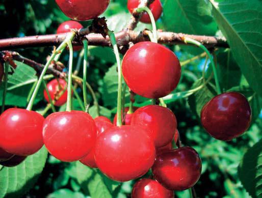 Сорт вишни обыкновенной: Метеор
