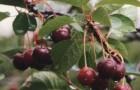 Сорт вишни обыкновенной: Мценская