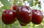 Сорт вишни обыкновенной: Низкорослая