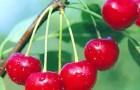 Сорт вишни обыкновенной: Орколия