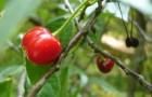 Сорт вишни обыкновенной: Память Щербакова