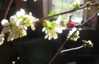 Сорт вишни обыкновенной: Рубиновая