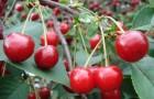 Сорт вишни обыкновенной: Щедрая