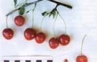 Сорт вишни обыкновенной: Шакировская