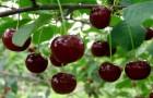 Сорт вишни обыкновенной: Стойкая