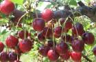 Сорт вишни обыкновенной: Сударушка