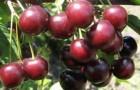 Сорт вишни обыкновенной: Тамарис