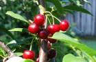 Сорт вишни обыкновенной: Волочаевка