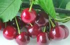 Сорт вишни обыкновенной: Вянок