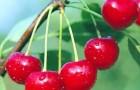 Сорт вишни обыкновенной: Заранка