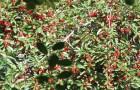 Сорт вишни степной: Алтайская крупная