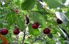 Сорт вишни степной: Ашинская
