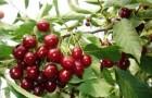 Сорт вишни степной: Иртышская