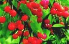 Сорт вишни степной: Кристина