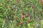 Сорт вишни степной: Новоалтайская