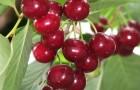 Сорт вишни степной: Новоселецкая