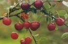 Сорт вишни степной: Полевка