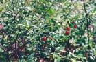 Сорт вишни степной: Рубиновая