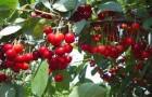 Сорт вишни степной: Желанная