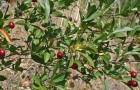 Сорт вишни степной: Змеиногорская