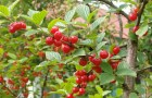 Сорт вишни войлочной: Алтана