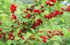 Сорт вишни войлочной: Детская