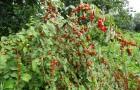 Сорт вишни войлочной: Огонёк