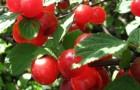 Сорт вишни войлочной: Розовая урожайная