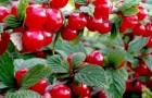 Сорт вишни войлочной: Сказка