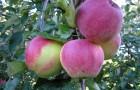 Сорт яблони: Аэлита