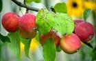 Сорт яблони: Алтайское румяное