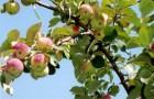 Сорт яблони: Алтайское зимнее