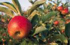 Сорт яблони: Амурское красное