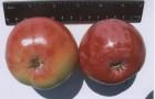 Сорт яблони: Амурское урожайное