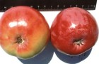 Сорт яблони: Анис свердловский