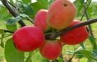 Сорт яблони: Баганенок