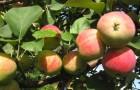 Сорт яблони: Башкирское зимнее