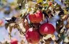 Сорт яблони: Бельфлер башкирский