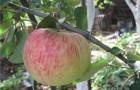 Сорт яблони: Бузовьязовское