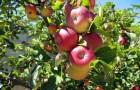 Сорт яблони: Чара (Юбилейное)