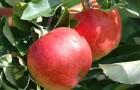 Сорт яблони: Делишес спур