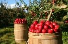 Сорт яблони: Диво