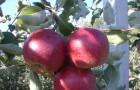Сорт яблони: Джонаред (Джонатан Ред)