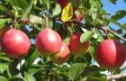Сорт яблони: Экранное